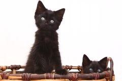 Gattini curiosi dentro un canestro su bianco Immagini Stock