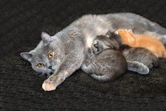 Gattini d'alimentazione del gatto della madre Fotografia Stock