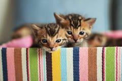 Gattini del Bengala che si siedono in contenitore di regalo variopinto Fotografie Stock Libere da Diritti