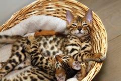 Gattini del Bengala in un canestro Immagini Stock
