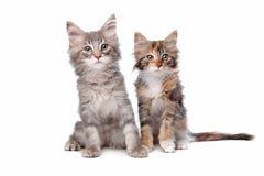 Gattini del Coon della Maine Immagini Stock Libere da Diritti