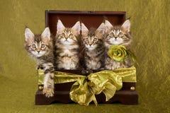 Gattini del Coon della Maine in casella di legno Immagini Stock Libere da Diritti