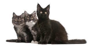 Gattini del Coon della Maine, vecchio 12 settimane, sedentesi Fotografia Stock