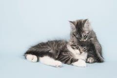 Gattini del procione lavatore di Maine che si lavano Immagini Stock Libere da Diritti