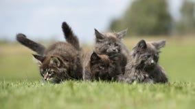 Gattini del procione lavatore di Maine sulla terra della foresta Fotografia Stock