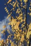 Gattini della primavera dell'arbusto su un fondo di cielo blu Immagine Stock Libera da Diritti