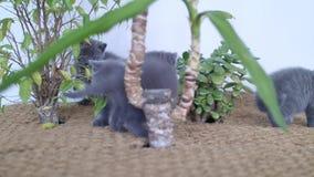 Gattini di Britannici Shorthair che giocano fra le yucche stock footage