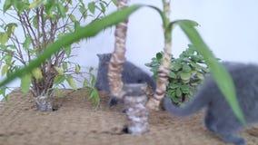 Gattini di Britannici Shorthair che giocano fra le yucche video d archivio