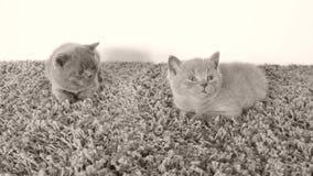 Gattini di Britannici Shorthair che hanno certo resto su un tappeto molle archivi video