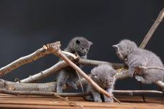 Gattini di Britannici Shorthair che scalano i rami Fotografia Stock Libera da Diritti