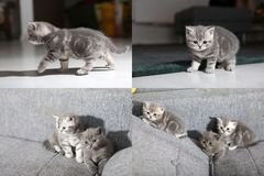 Gattini di Britannici Shorthair che si siedono su uno strato, picture in picture del SEME, griglia 2x2 Fotografia Stock Libera da Diritti