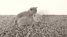 Gattini di Britannici Shorthair che si trovano su un tappeto molle video d archivio