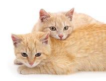Gattini di Brown Immagine Stock