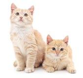 Gattini di Brown Fotografia Stock