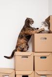 gattini di combattimento Fotografia Stock Libera da Diritti