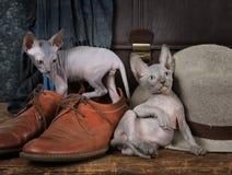 Gattini di Don Sphinx del purosangue Immagine Stock