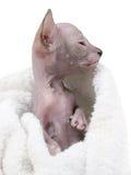 Gattini di Don Sphinx in un letto Fotografie Stock