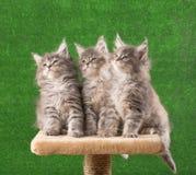 Gattini di Maine Coon Immagini Stock