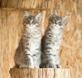 Gattini di Maine Coon Fotografie Stock Libere da Diritti