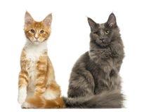 Gattini di Maine Coon che si siedono insieme, Fotografia Stock