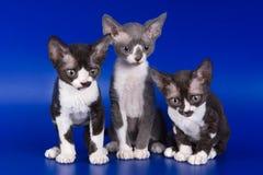 Gattini di Rex Fotografie Stock Libere da Diritti