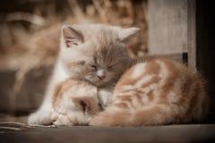Gattini di sonno Fotografie Stock Libere da Diritti