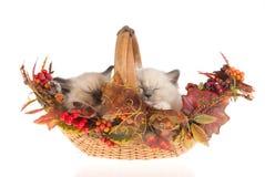 Gattini di sonno Ragdoll, su priorità bassa bianca Fotografie Stock Libere da Diritti