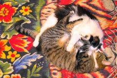 Gattini dopo pranzo fotografia stock