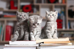 Gattini e libri di Britannici Shorthair Fotografia Stock Libera da Diritti