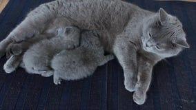Gattini e madre su una coperta blu stock footage