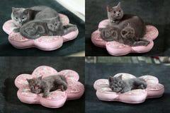 Gattini, gatti e cuscini, multicam, griglia 2x2 Fotografie Stock Libere da Diritti