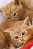 Gattini Gingery immagini stock libere da diritti