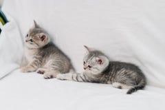 Gattini grigi che giocano su un sofà bianco immagine stock libera da diritti