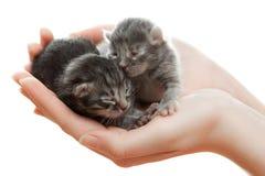 Gattini grigi neonati in mani Fotografia Stock