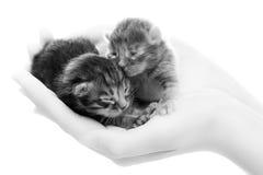 Gattini grigi neonati in mani Fotografie Stock