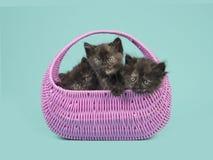 Gattini insieme in un canestro rosa su un fondo blu del turchese Fotografia Stock Libera da Diritti