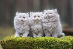 Gattini lanuginosi adorabili all'aperto Immagine Stock