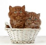 Gattini lunghi britannici dei capelli Immagine Stock