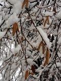 Gattini maschii dell'albero di nocciola coperti di neve fotografie stock