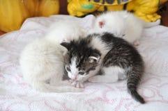 Gattini neonati Fotografia Stock Libera da Diritti