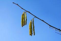 Gattini nocciola contro il cielo blu, polline altamente allergene dentro Immagine Stock