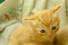Gattini persiani Brown Fotografia Stock