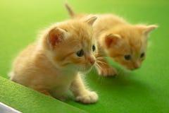 Gattini persiani Brown Immagini Stock Libere da Diritti