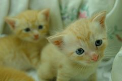 Gattini persiani Brown Fotografia Stock Libera da Diritti