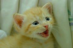Gattini persiani Brown Immagine Stock