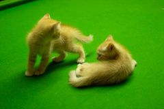 Gattini persiani Brown che sono svegli Immagini Stock
