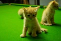 Gattini persiani Brown che sono svegli Fotografia Stock Libera da Diritti