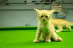 Gattini persiani Brown che sono svegli Immagine Stock