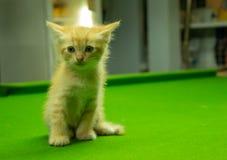 Gattini persiani Brown che sono svegli Immagini Stock Libere da Diritti
