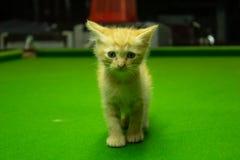 Gattini persiani Brown che sono svegli Fotografie Stock Libere da Diritti